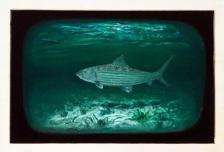 Bonefish II