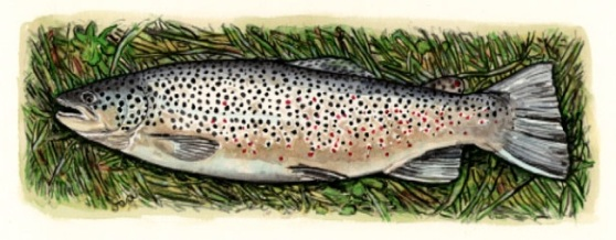 Icelandic Brown Trout