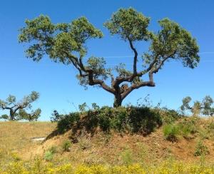 cork tree 100