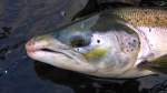 P1020767#salmon head 100a